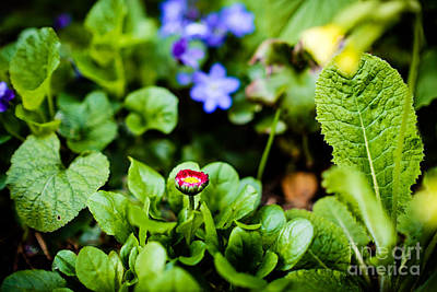 Photograph - New Season For Bellis Perennis Bellissima Red by Ismo Raisanen