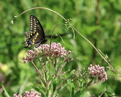 Photograph - Male American Swallowtail Papilio Polyxenes by Captain Debbie Ritter