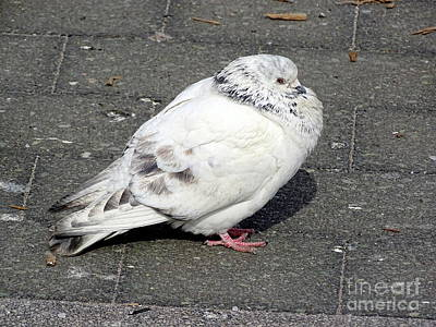 Photograph - New York Pigeons #6 by Ed Weidman