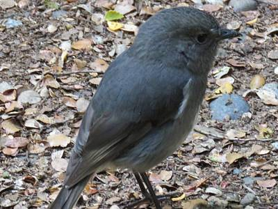 Photograph - New Zealand Bush Robin by Nancy Pauling