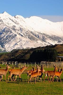 New Zealand Deer 3497 Art Print by PhotohogDesigns