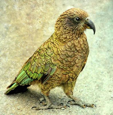 Photograph - New Zealand Kea Parrot by Georgiana Romanovna