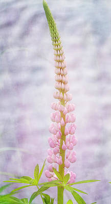 Lupins Photograph - New Zealand Pink Lupin  by Joan Carroll