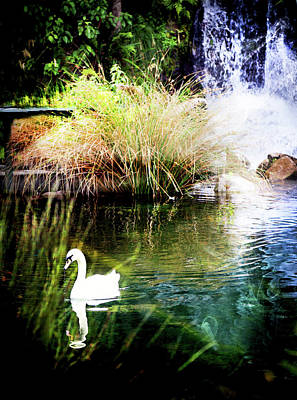 Photograph - New Zealand Swan by Kathryn McBride