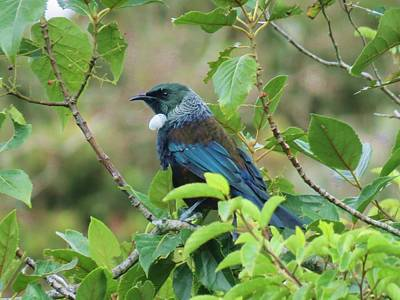 Photograph - New Zealand Tui by Nancy Pauling