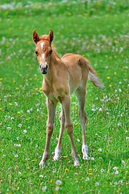 Palomino Foal Photograph - Newbie by Emily Stauring