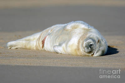 Photograph - Newborn Baby Atlantic Grey Seal Sleeping by Tony Mills