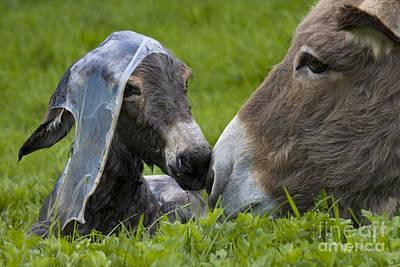 Donkey Foal Photograph - Newborn Donkey by Jean-Louis Klein & Marie-Luce Hubert