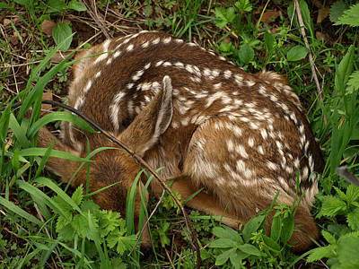 Photograph - Newborn Fawn by DeeLon Merritt