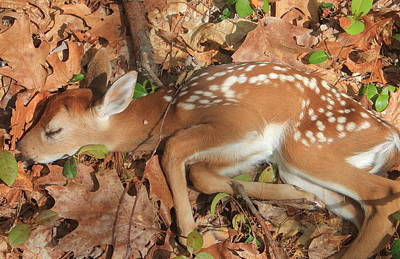 Photograph - Newborn Fawn by John Burk
