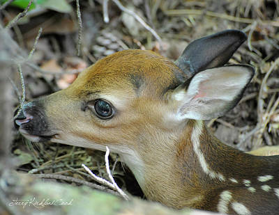 Photograph - Newborn Fawn by Terry Kirkland Cook