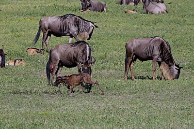Photograph - Newborn Wildebeest by Tony Murtagh