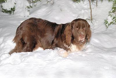 Photograph - Newf In Snow by Debbie Stahre