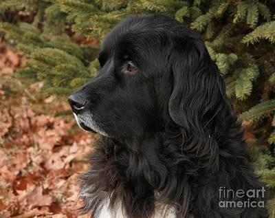Photograph - Newfie Portrait by Debbie Stahre