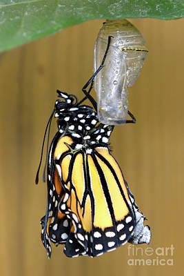 Photograph - Newly Emerged Monarch Butterfly by Olga Hamilton