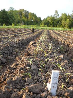 Photograph - Newly Planted Onions by Kent Lorentzen
