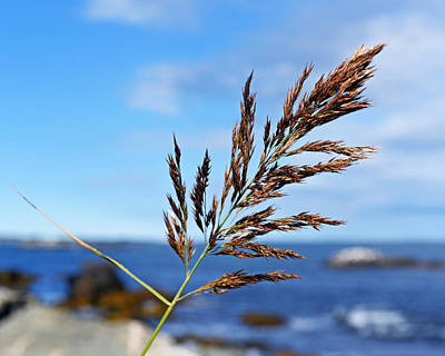 Photograph - Newport Rhode Island Cliff Walk Reed by Toby McGuire