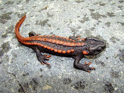 Salamanders Digital Art - Newt by Lucie Malecot
