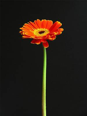 Gerber Daisy Photograph - Next American Top Model by Juergen Roth