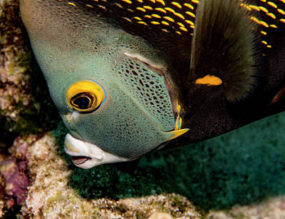 Photograph - Nibbling French Angel Fish by Jean Noren