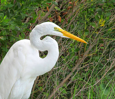 Pop Art Rights Managed Images - Nice Tampa Bay Egret Royalty-Free Image by Tina M Wenger