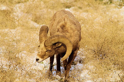 Big Horn Sheep Photograph - Nicely Curled Ram by Jeff Swan