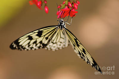 Nick's Butterfly Macro Art Print