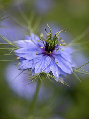 Photograph - Nigella Blue 2 by Rebecca Cozart