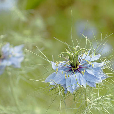 Art Print featuring the photograph Nigella Damascena by Cindy Garber Iverson