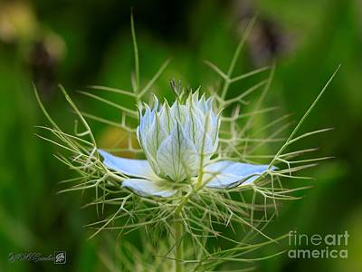 Photograph - Nigella From The Persian Jewels Mix by J McCombie