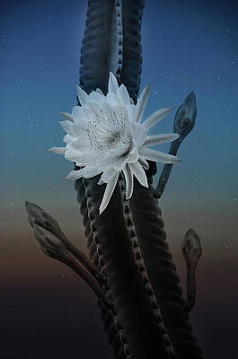 Photograph - Night Bloom by Carolyn Dalessandro