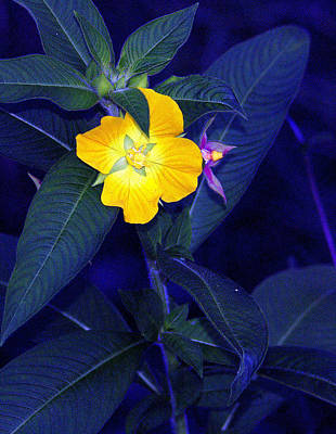 Photograph - Night Bloom by Faith Williams