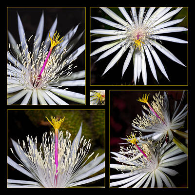 Holiday Cacti Photograph - Night Blooming Cactus Flower by Kelley King