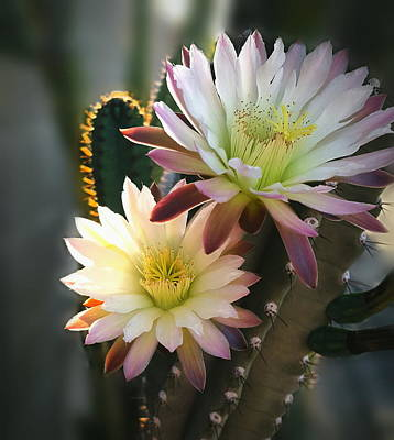 Photograph - Night-blooming Cereus 3 by Marilyn Smith