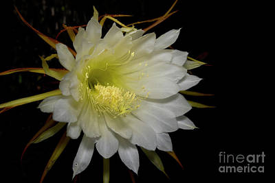 Photograph - Night Blooming Cereus by Olga Hamilton