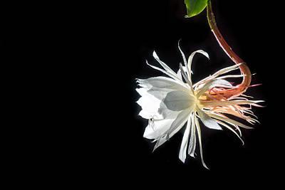 Epiphyllum Oxypetalum Photograph - Night Blooming Flower by Jimmy Chiu