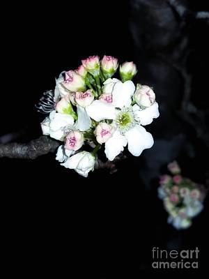 Photograph - Night Blooms by Rachel Hannah