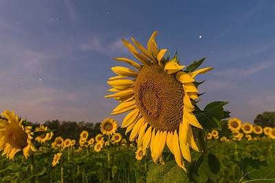 Sunflowers Royalty-Free and Rights-Managed Images - Night Field by Kristopher Schoenleber