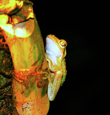 Photograph - Night Frog by David Lee Thompson