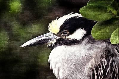 Photograph - Night Heron 2 by Richard Goldman
