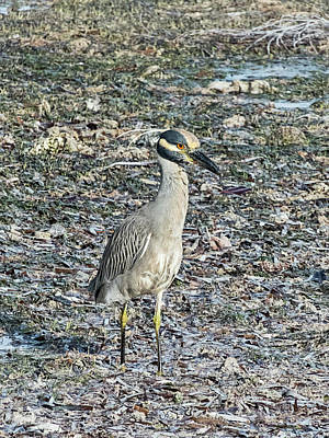 Photograph - Night Heron At Low Tide by Bob Slitzan