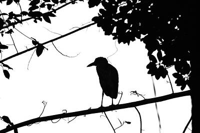 Photograph - Night Heron Black And White by Debbie Oppermann