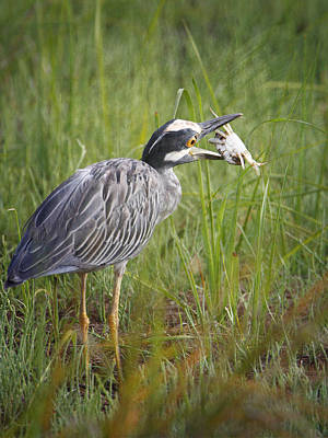 Photograph - Night Heron Eating Crab by Charles McKelroy