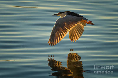 Photograph - Night Heron Flight by Alice Cahill