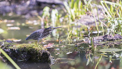 Photograph - Night Heron by Josef Pittner