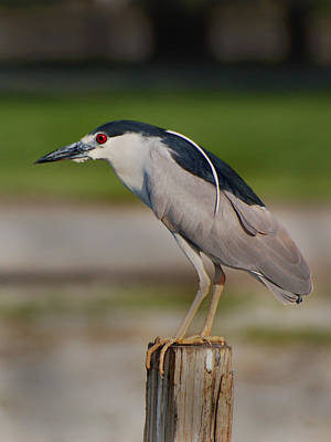 Photograph - Night Heron by Kathleen Stephens