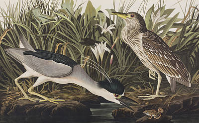 Herons Drawing - Night Heron Or Qua Bird by John James Audubon