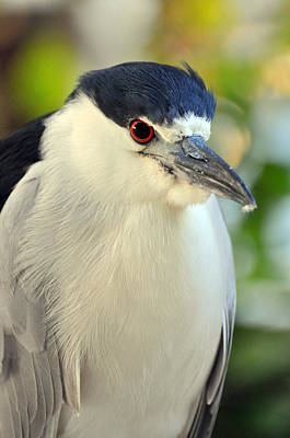 Night Heron Portrait In The Early Morning Light  Art Print by Rose  Hill