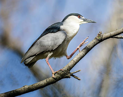 Photograph - Night Heron Walking On Branch by William Bitman