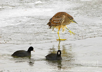 Night Heron With Coots Art Print by Dennis Hammer